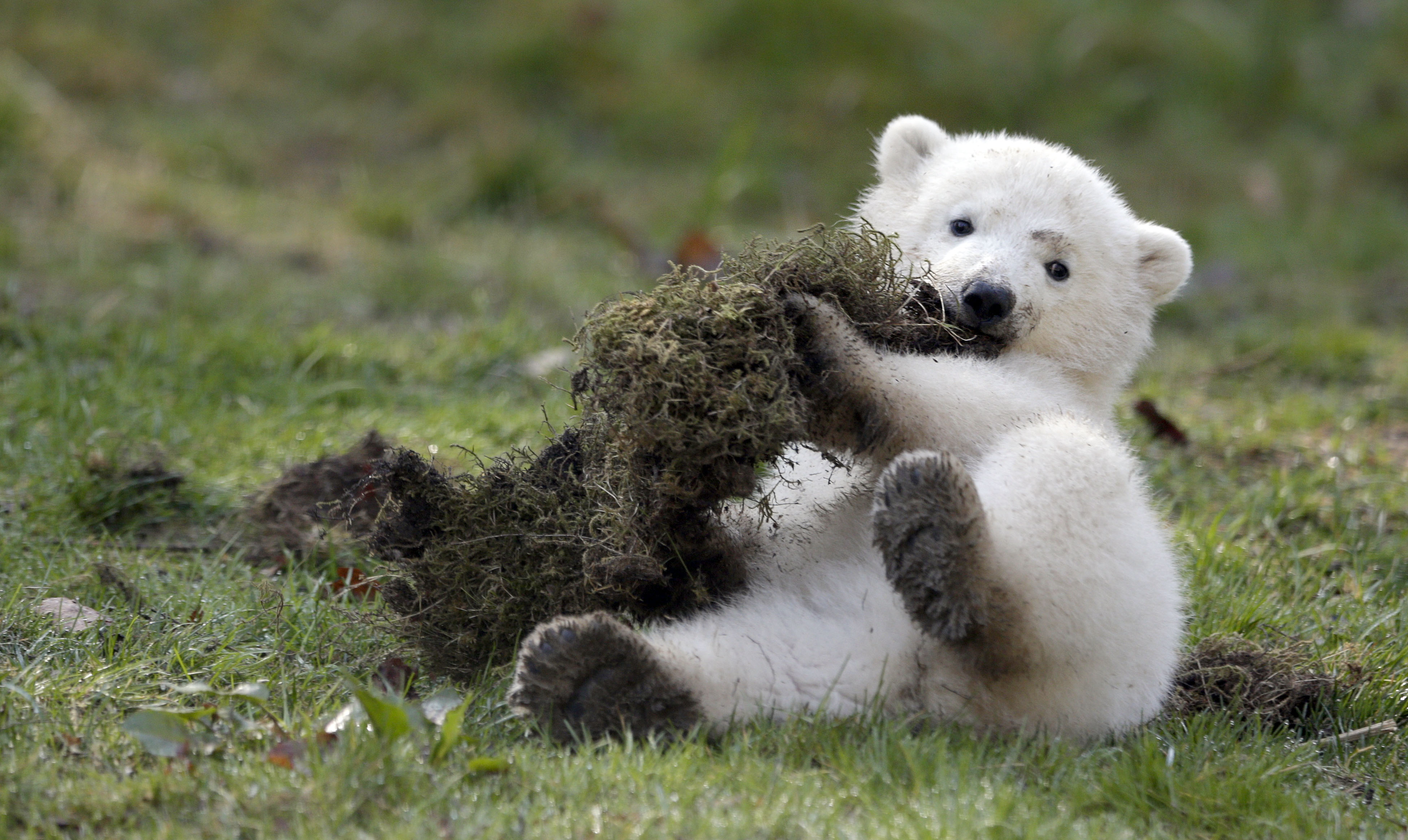 Are these the cutest Polar bear cubs you will see today?