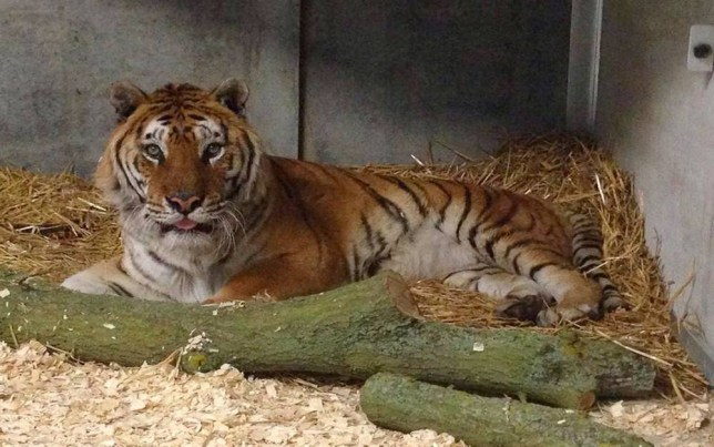 'Esso tiger' rescued by Woodside Wildlife Park in Lincolnshire
