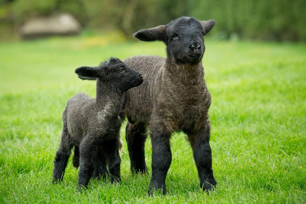 He's baa-baa-gantuan: Lambzilla of newborns is biggest in the world