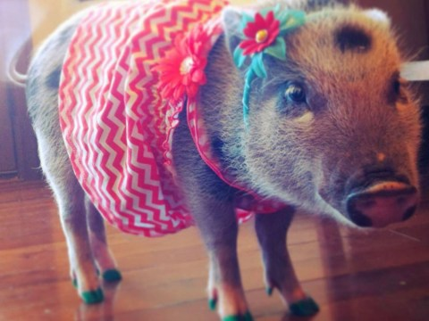 Penelope Popcorn: Just, you know, a pig wearing clothes on Instagram
