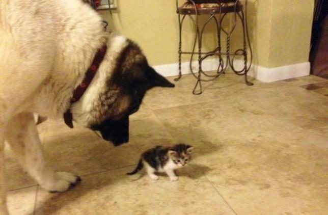 Akita Guard Dog Lily Adopts Tiny Abandoned Kitten In