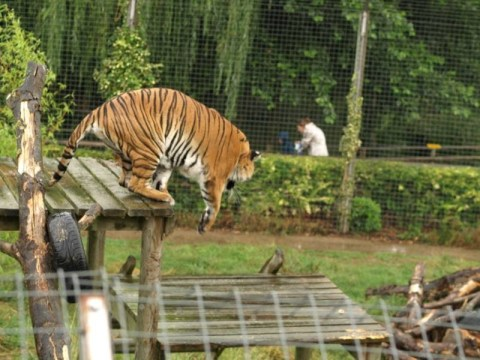 'Tiger escape' alarm interrupts Easter egg hunt at wildlife park
