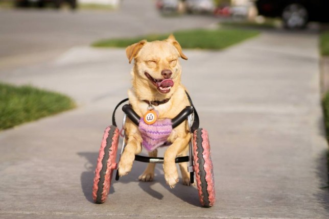 PIC FROM CATERS NEWS - (PICTURED: Daisy the dog) - Meet adorable Daisy, the disabled dog with a heart as big as her wheels. The three-year-old Terrier crosss front legs are paralysed - so uses a glittery pink WHEELCHAIR to get around. Adorable Daisy was found on streets two years ago, after being abandoned by her owners. Vets have no idea what cause her deformed legs, but believe she was born with them. But kind-hearted rescuers at A Home 4 Ever rescue centre, in Bellflower, California raised cash to pay for a special dog wheelchair - which means new owner, Sheena Main, can take her for long walks. SEE CATERS COPY