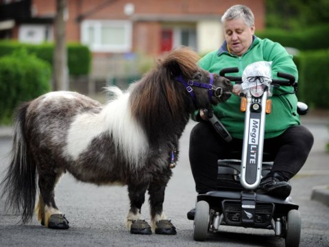 Woman takes tiny horses for walks while riding mobility scooter