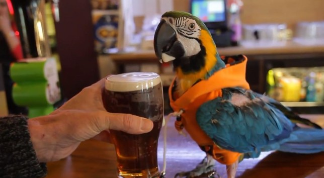 Make mine a pint of best... Jack the parrot sporting a fetching hoodie in his local pub (Picture: YouTube)