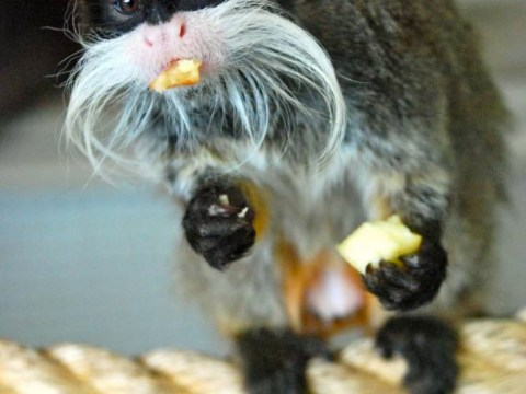 Monkey business: Endangered tamarins stolen from Blackpool Zoo