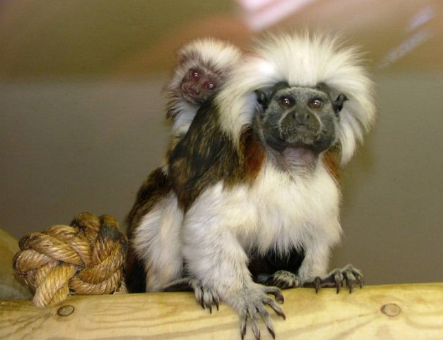 Undated handout photo issued by Lancashire Police of a mother and baby tamarin monkeys that are two of five that have been stolen from Blackpool Zoo overnight on Tuesday. PRESS ASSOCIATION Photo. Issue date: Friday May 2, 2014. The raiders cut a hole in the perimeter fence of Blackpool Zoo and removed the locks from two separate monkey enclosures. Two female and one baby cotton-top tamarin, which are a critically endangered species, and two male emperor tamarins were taken. Police believe they were targeted specifically and their details have been circulated to all ports and airports in case the thieves try to take them abroad. Officers are working with the National Wildlife Crime Unit to try to trace them. See PA story POLICE Monkeys. Photo credit should read: /PA Wire  NOTE TO EDITORS: This handout photo may only be used in for editorial reporting purposes for the contemporaneous illustration of events, things or the people in the image or facts mentioned in the caption. Reuse of the picture may require further permission from the copyright holder.