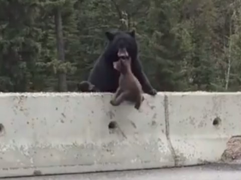 Mother bear rescues cub from busy road