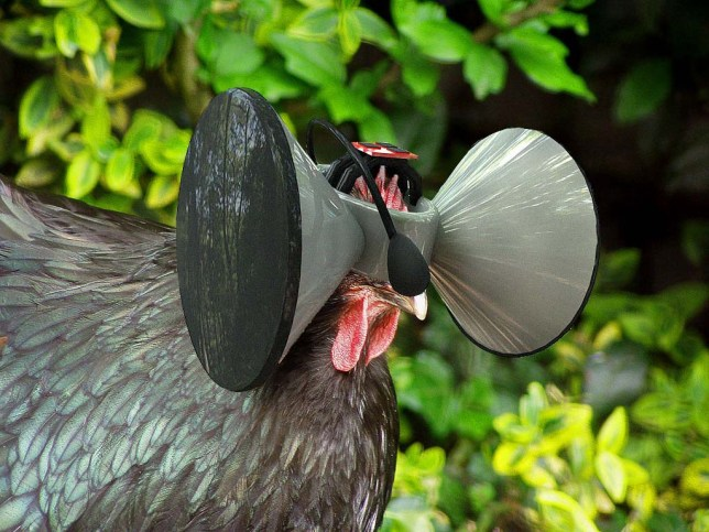What the chicken might look like with a virtual reality headset