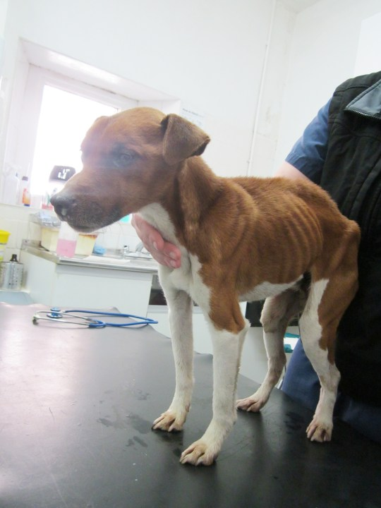 Scottish SPCA: Starving dog found tied to a tree in Irvine Moor, North Ayrshire