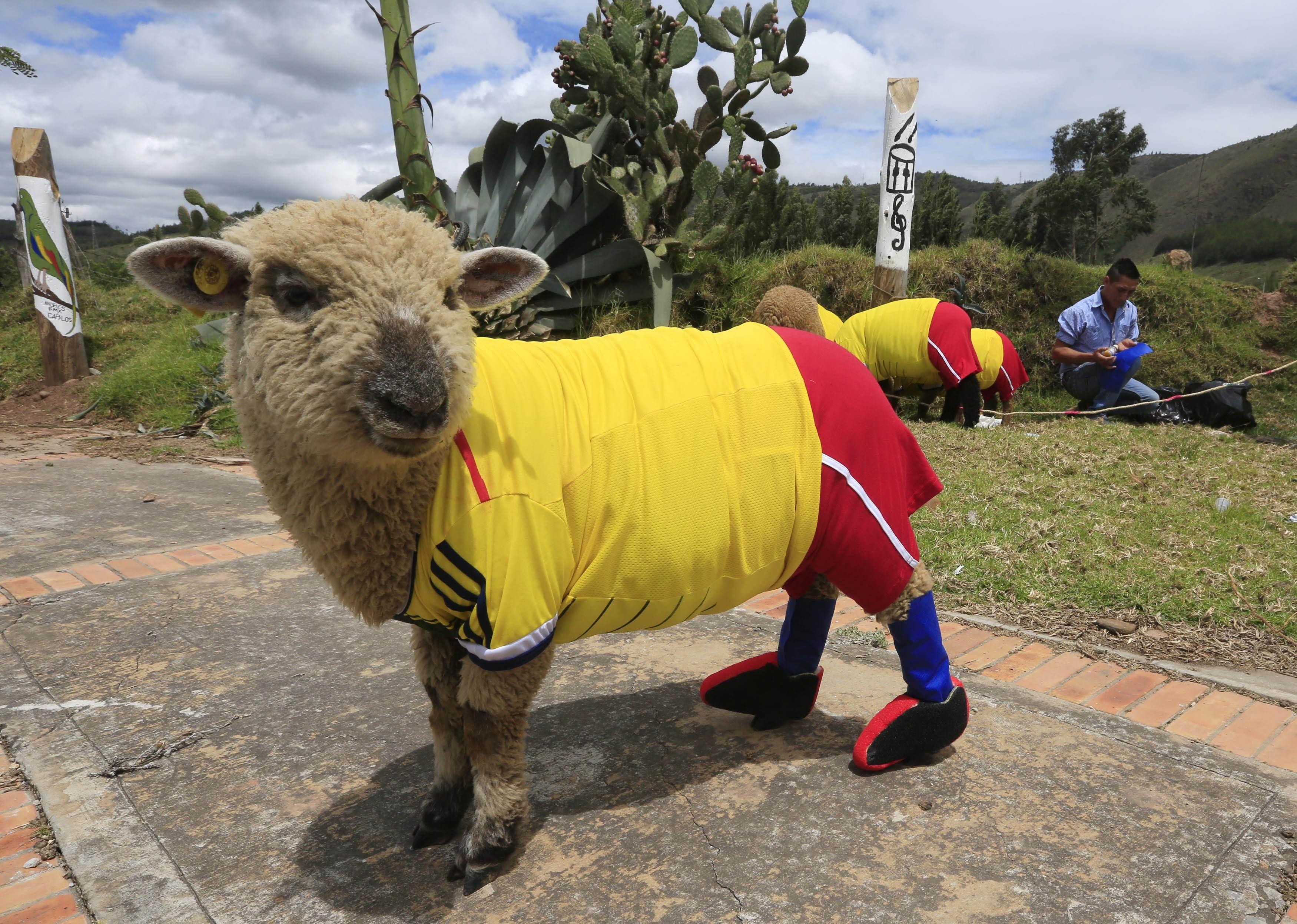 Sheep world cup hoofs off ahead of World Cup 2014
