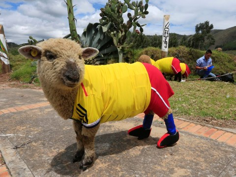 Sheep world cup hoofs off ahead of World Cup 2014
