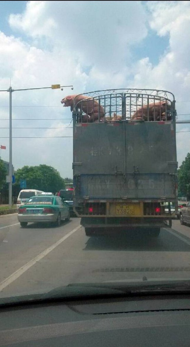 Pig escapes slaughterhouse truck in Guangxi, China