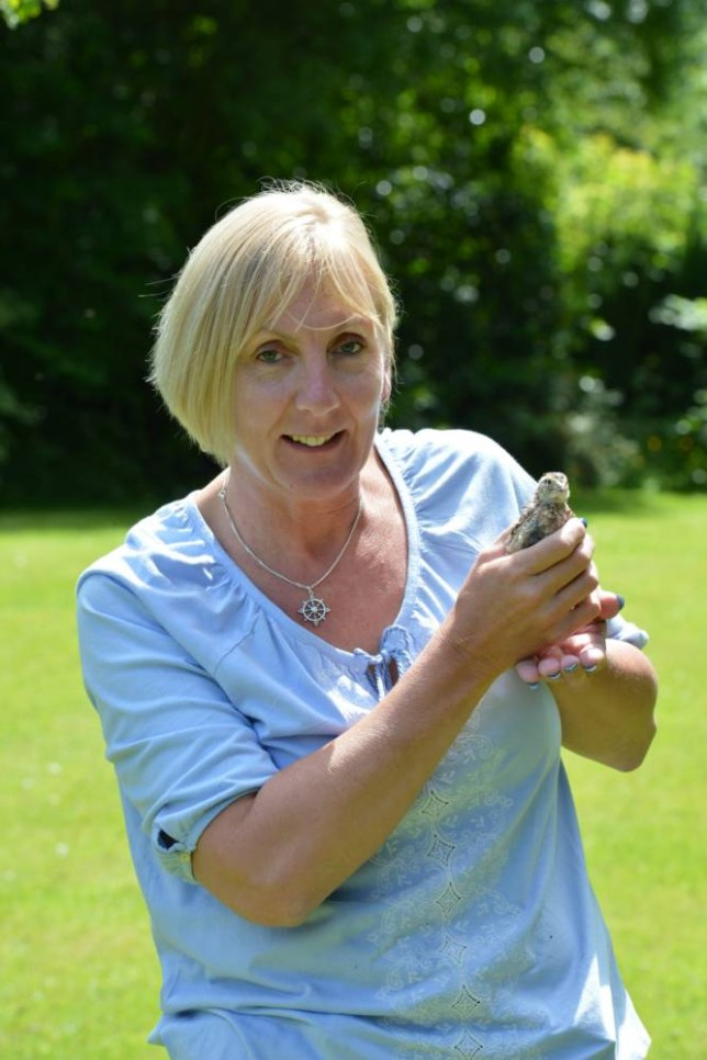 """Mandy Clayton with her baby Quail after she was stunned when she bought a box of eggs from her local supermarket and one of them hatched. Chaldon, Surrey. See SWNS story SWHATCH; A shopper had a very special delivery when she bought a box of tiny quail eggs from her up-market local supermarket - and one of them HATCHED. Mother-of-six Mandy Clayton, 49, couldn't believe her eyes when one of four quail eggs she bought from her local Waitrose hatched. Mandy, a swimming teacher, who has nine chickens at her home, put one of the tiny speckled eggs in an incubator as an experiment, and never really expected it to hatch. She said: """"I'd bought a dozen quails' eggs for a barbecue, and had four left over from the salad, so I just put them in the incubator to see what would happen."""