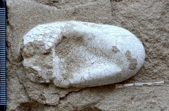 """Mandatory Credit: Photo by HAP/Quirky China News/REX (3792156a)  Pterosaur egg  First complete pterosaur dinosaur eggs found in China - 06 Jun 2014  According to the famous scientific journal Current Biology on June 6, 2014, the world's largest and most well-preserved three-dimensional fossil cluster of pterosaur and its eggs were found in Hami, western China's Xinjiang Uygur Autonomous Region. The discovery was based on the field research of researcher Wang Youlin and his team of Institute of Vertebrate Paleontology and Paleoanthropology, Chinese Academy of Sciences, over the past 10 years. The specimens are named Hamipterus tianshanensis. """"Hami"""" refers to the region where the specimens were found."""