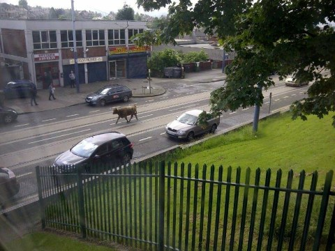 Highland cow on the loose in Sheffield sparks armed police chase