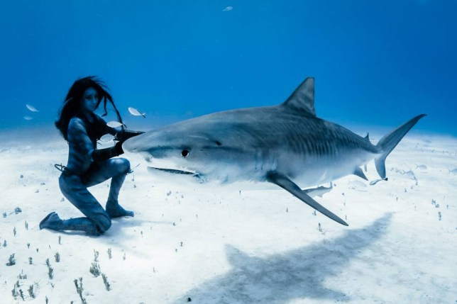 PIC SUPPLIED BY SHAWN HEINRICHS GEOFF ROBINSON PHOTOGRAPHY 07976 880732. EMBARGOED UNTIL 00:01 Wednesday, June 11, 2014 PIC SHOWS HANNAH FRASER DANCING WITH TIGER SHARKS IN THE SEA OFF THE BAHAMAS COAST.  A female model has become the first person in the world to do a death-defying underwater dance with wild killer TIGER SHARKS.   Hannah Fraser held her breath and plunged 15 METRES below the Atlantic Ocean in the Bahamas to swim with a shoal of the worldís most dangerous shark species.   The 38-year-old, who wore a skimpy bikini and had NO diving equipment, had to keep moving to stop the 17-FOOT LONG sea creatures from eating her alive.   Hannah, who was born in England but now lives in LA, said goodbye to her family in case she did not return from the ultimate dangerous feat.   Amazing footage, shot by Emmy award-winning cinematographer, Shawn Heinrichs, shows Hannah dancing on the bottom of the seabed with the sharks swimming around her. SEE COPY CATCHLINE Model swims with killer sharks