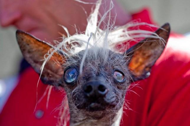World S Ugliest Dog Contest 2014 Top 10 Photos Metro News