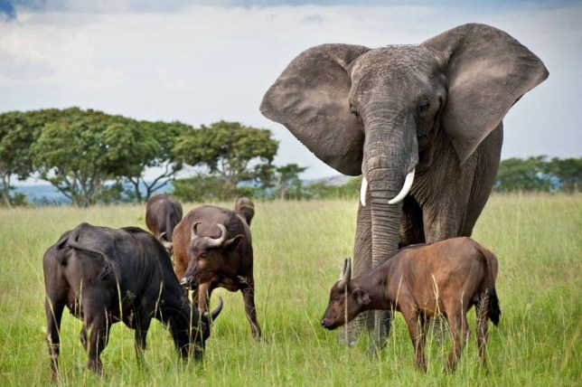 PIC FROM CATERS NEWS - (PICTURED: Nzhou with the buffalo herd) - A confused elephant whose parents were culled by ivory hunters has been adopted by a herd of BUFFALO. Nzhou looks a bit out of place with the herd, as she towers over them - but they accept her as one of their own. The 46-year old elephant has lived on the Imire Black Rhino and Wildlife Conservation area in Zimbabwe ever since she was adopted after her parents were culled in the 1970s. SEE CATERS COPY.