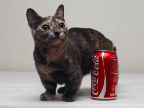 Meet your new favourite cat: Ultra-cute Pixel is just five inches tall