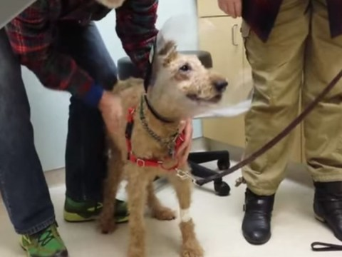 Watch adorable moment blind dog sees family again after surgery