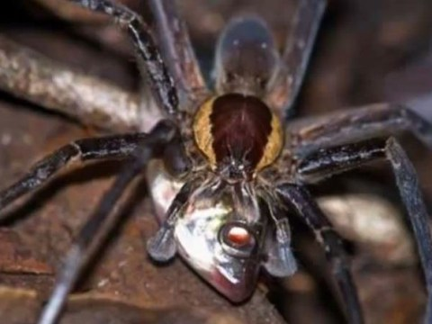 'Flesh-eating spiders' found right here in the UK