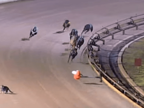 Curious cat finds himself on greyhound track