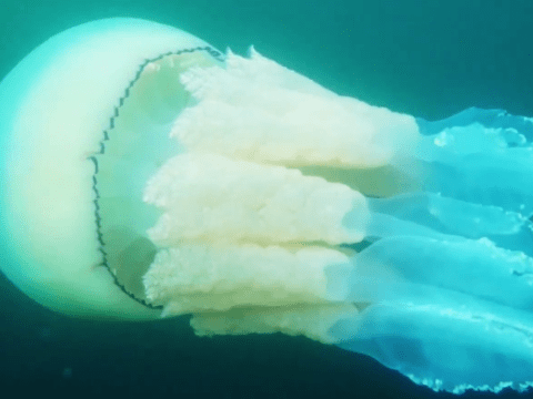 Barrel jellyfish filmed off the coast of Cornwall may be the biggest ever caught on camera in the UK