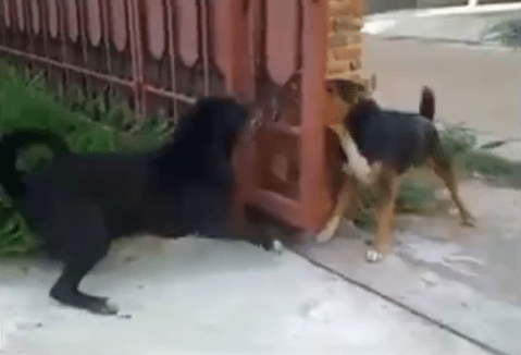 Dogs don't really want to fight, bark through a bit of fence instead