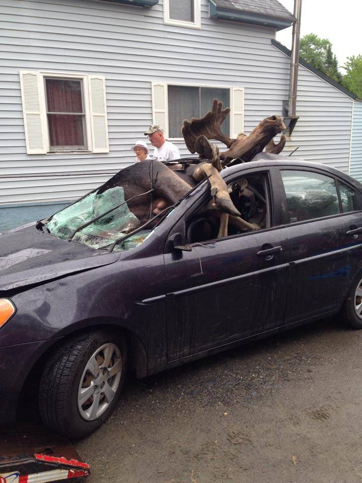 Moose Next To Car : moose, Moose, Crash:, Incredible, Pictures, Happens, Maine,, Boston,, Driver, Collides, Metro