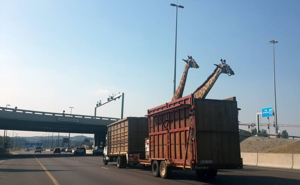 Disturbing picture shows moment just before giraffe dies in bridge smash