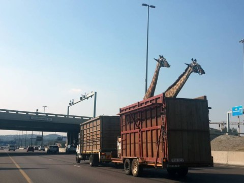 Disturbing picture shows moment just before giraffe dies in bridge smash