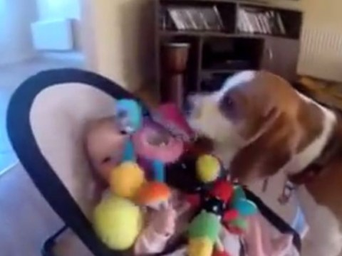 I'm sorry! Guilty dog showers crying baby with gifts after stealing toy