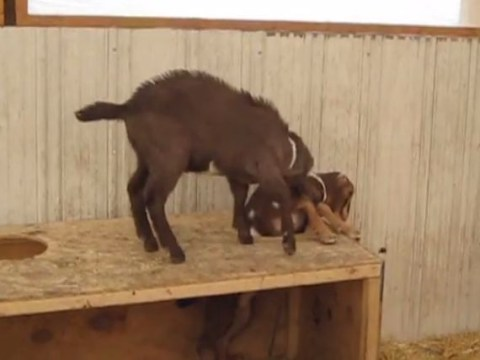 Goat shows more compassion than human as it tries help free friend from hole