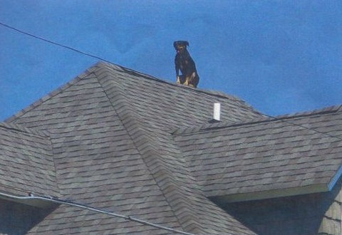 Bark Knight: This dog takes guarding the house very seriously