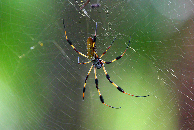 City spiders are getting bigger, say scientists. A lot bigger.