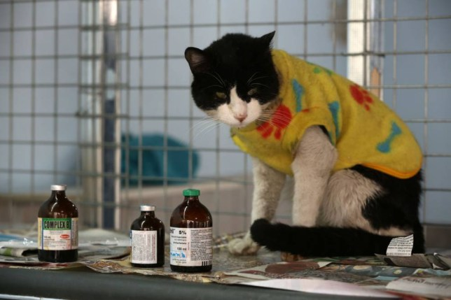 In this Aug. 2, 2014 photo, a cat leukemia waits to me medicated in Maria Torero's home in Lima, Peru. For five years,Torero has ministered to the sick felines, attempting to improve their quality of life as they slowly succumb to the common, fatal retrovirus. (AP Photo/Martin Mejia)