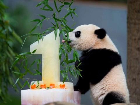 Bao Bao the panda celebrates first birthday, because pandas love cake as much as you do