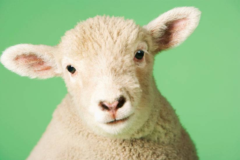 A93M6K Lamb on green background, close-up of head. Image shot 2006. Exact date unknown.