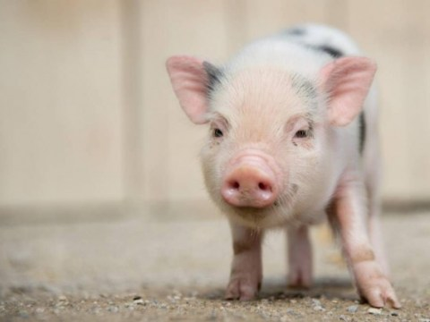 Love pigs? Then you should probably visit The Pig Hotel