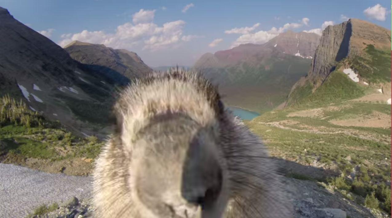 marmot, greenpeace, greenpeace usa, glacier national park