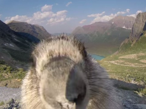 Cute alert: Marmot licks camera during Greenpeace time-lapse video