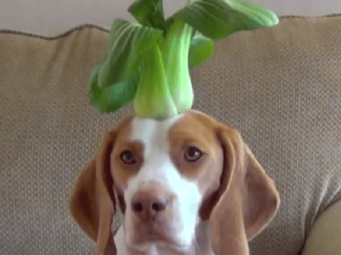 Watch Maymo the beagle balance 100 different fruits on his head in 100 seconds