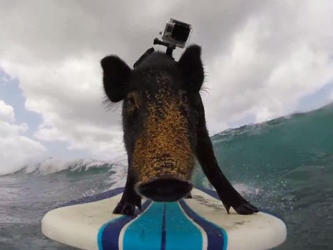 Bored with surfing dogs and seals? Catch a wave with Kama the board-riding pig