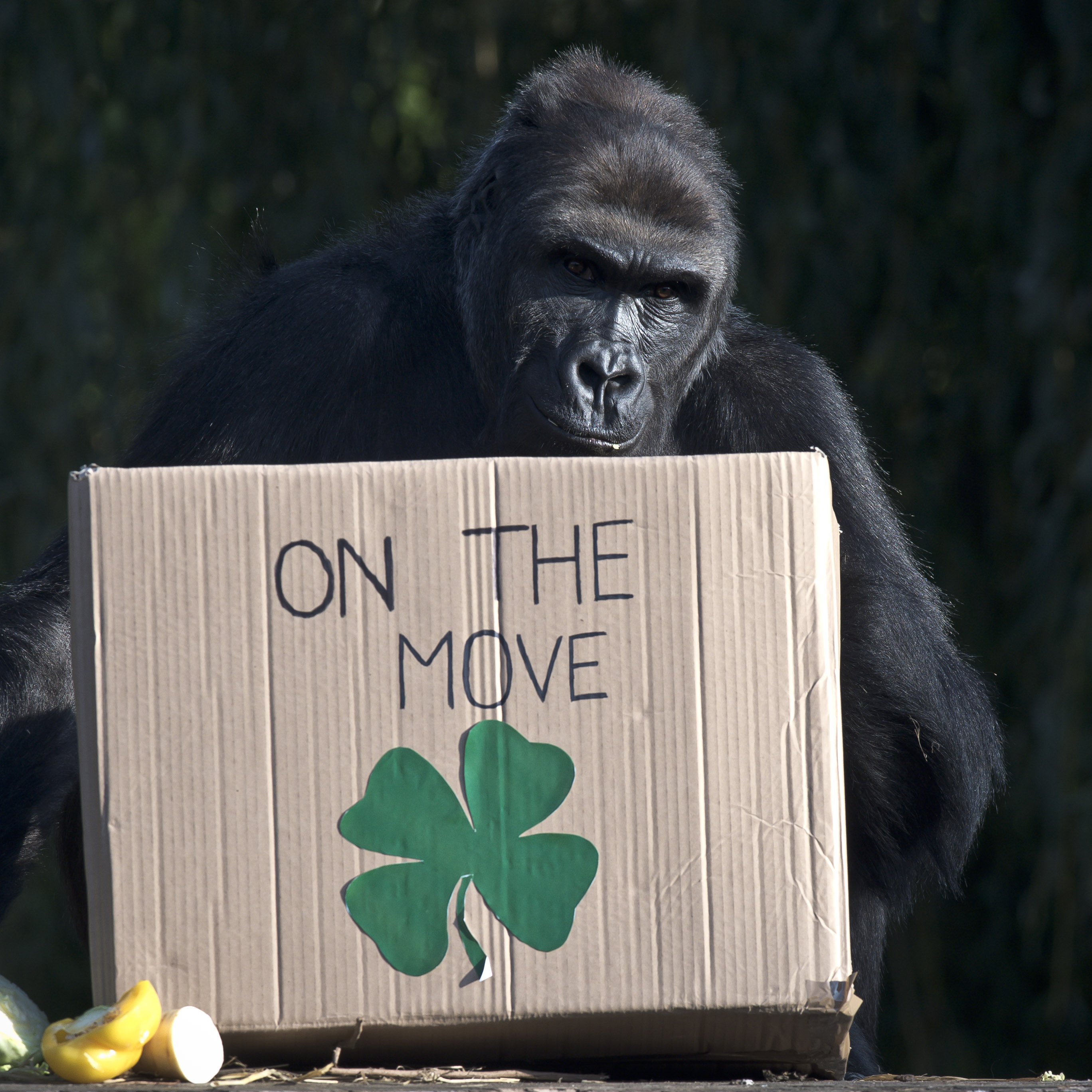 King of the swingers: Zoo throws farewell party for gorilla off to start new family