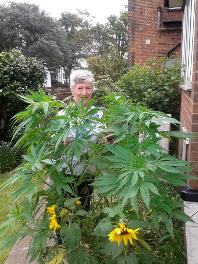 "Patricia Hewitson with the cannabis plant which had been growning outside her house. See SWNS story SWDOPE; A green-fingered Exmouth pensioner was left shocked after she was informed by a gardening programme that she had grown a five-foot-tall cannabis plant. Patricia Hewitson spotted a new species of plant growing in her garden and called BBC Radio Devon's gardening programme for help identifying it. And after receiving the information that the mystery weed, grown from bird seed, was cannabis police were informed and involved. Mrs Hewitson, who sent a photograph of the plant to ìThe Potting Shedî, said she had received some ""interesting"" emails after asking for help."