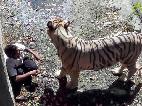 'Drunk' student killed by white tiger at zoo after 'falling into enclosure'