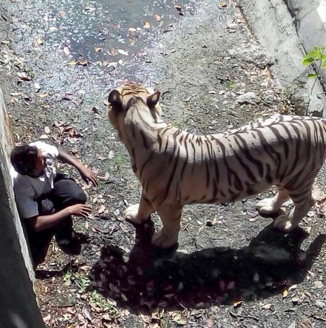 NEW DELHI, INDIA - SEPTEMBER 23: The white tiger stands infront of 20 year old Maksood after he fell into it's enclosure on September 23, 2014 in New Delhi, India. A 20-YEAR-OLD was mauled and killed by a white tiger at Delhi Zoo today (Sept 23). According to eyewitnesses, the man, identified only by his first name Maksood, jumped inside the enclosure at around 1.10pm local time. As soon as the man jumped inside the enclosure, the white tiger pounced on him and dragged him deeper inside the enclosed area. Amitabh Agnihotri, the director of Delhi Zoo, said the staff unsuccessfully tried to divert the tiger's attention as he attacked the 20-year-old. PHOTOGRAPH BY  Barcroft India UK Office, London. T +44 845 370 2233 W www.barcroftmedia.com USA Office, New York City. T +1 212 796 2458 W www.barcroftusa.com Indian Office, Delhi. T +91 11 4053 2429 W www.barcroftindia.com