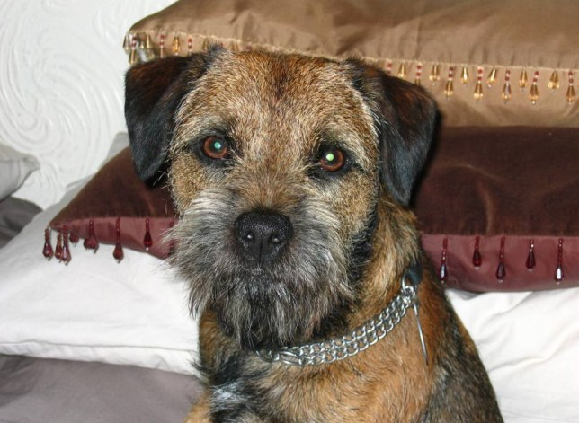 A DOG who survived being trapped in a rabbit hole for four days was literally saved by the bell... Henry, a seven-year-old Border Terrier, vanished while on a walk in Prestbury on September 14... .. FOUND: Henry the dog .. Pic from MEN Syndication.. .. Mitchell Henry House.. Hollinwood Avenue.. Chadderton.. Oldham.. OL9 8EF.. syndication@men-news.co.uk