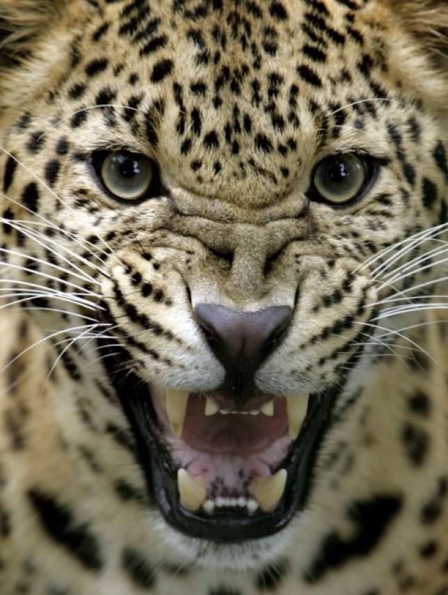 Leopard, Himalayas
